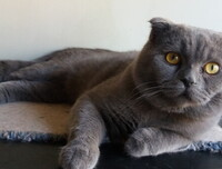 Lowie Gulci - Scottish Fold