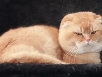 Horacio du lion Blue - Scottish Fold