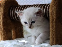 Cupido - one of The QutyCats - Ragdoll