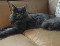Yegor (IC. Relax Ingenious Cats RU*) - Maine Coon