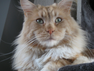 - Maine Coon