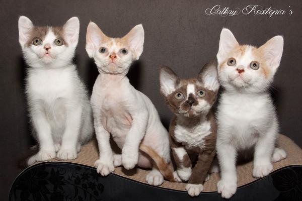 Verwonderlijk Devon Rex kittens te koop in Dirksland - 3406 | katgezocht.com RE-06
