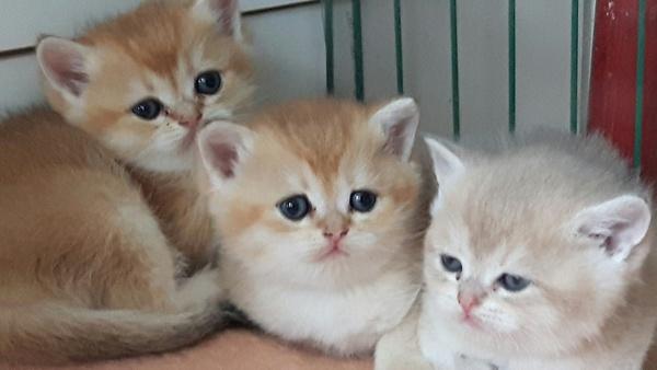Wonderlijk Brits Korthaar kittens te koop in Kerkrade - 3177 | katgezocht.com KZ-47