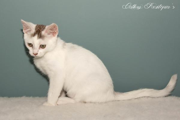 Betere Devon Rex kittens te koop in Dirksland - 3405 | katgezocht.com YX-62