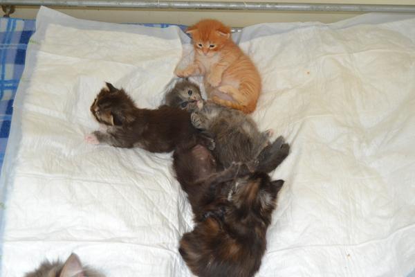 Verwonderend Maine Coon kittens te koop in Goes - 2870 | katgezocht.com JQ-45