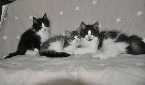 Ongebruikt Noorse Boskat kittens te koop in Boxmeer - 3294 | katgezocht.com XW-36
